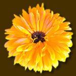 Logo del gruppo di LA CALENDULA